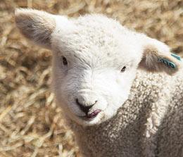 Maryland Lamb