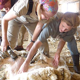 MSBA Sheep Shearing School