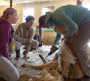 msba-shearing-school-sheep